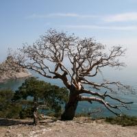 Засохшее дерево по дороге на Караул-Обу